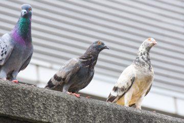 odstraszanie gołębi