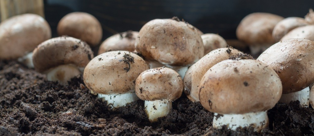 grzyby grzybnia